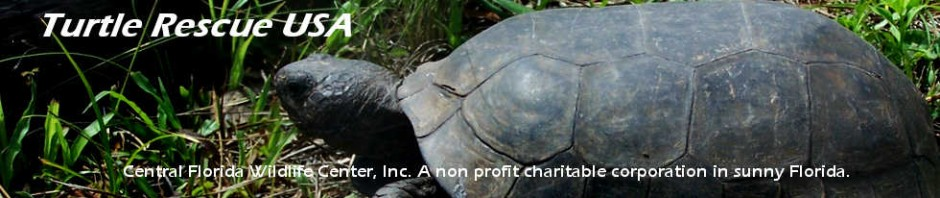If you have found an injured turtle or tortoise: | Turtle